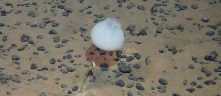Manganese nodules at the seabed of the Pacific . Photo: ROV Kiel 6000, GEOMAR.